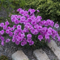 K06- Dianthus Whatfield Can Can_1