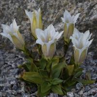 K06- Gentiana acaulis Popole_1
