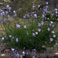 6. Gentiana, Dianthus, Campanula, Edraianthus og Physoplexis