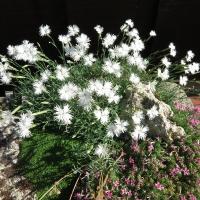 K06-Dianthus squarrosa_1