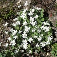 K07-Sanguinaria canadensis 'Star'_1