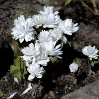 K07 - Sangunaria flora plena_1