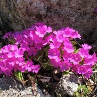 K08- Primula daonensis_1