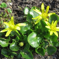 K09-Ranunculus kochii_1