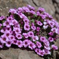 4. Pudeplante i blomst