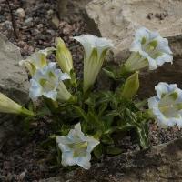 6. Gentiana, Dianthus, Campanula, Edraianthus og Physoplexis