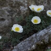 9. Ranunkel, Adonis, Anemone, Anemonella, Callianthemum , Clematis og Hepatica