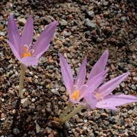 K10-Colchicum visianii 'Petrovac'_1