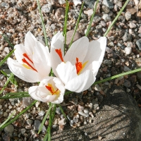 K10-Crocus asumaniae albus_1