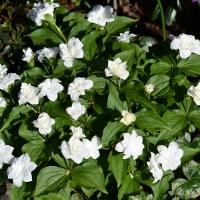k11-Trillium grandiflorum flore plena_1