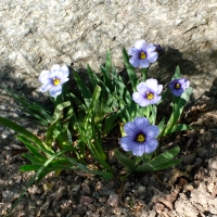 K12-Sisyrinchium 'Blue France'_1