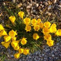 K12 - Narcissus obesus_1