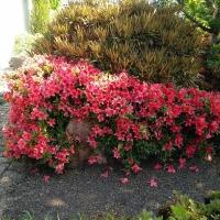 K13-Rhododendron_NakahareGeisha