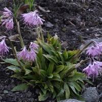 K13-Heloniopsis orientalis_1
