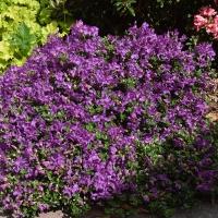 K13-Rhododendron calostrotum ssp. keleticum_1