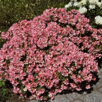 K13-Rhododendron WeeBee_1