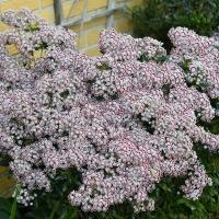 K14-Kalmia latifolia 'Minuet'_1