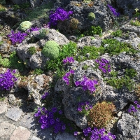 K03 - Edraianthus serpyllifolius_1