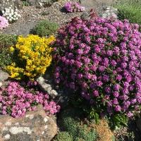 K03 - Daphne cneorum pygmaea, Daphne x susannae 'Ceska Rybna' og Cytisus ardoinii_1