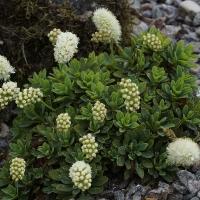 K04-Petrophytum hendersonii_1