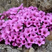 K04-Saxifraga porophyllum Gregor 20180415A_1