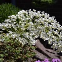 K05-Saxifraga Longifolia 20180602 003_1