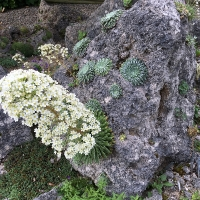 K05 - Saxifraga longifolia_1