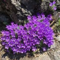 K06 - Edraianthus pumilio_1