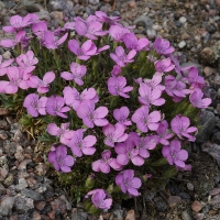K06-Dianthus microlepis Rivendell_1