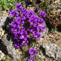 K06 - Edraianthus serpyllifolius_1