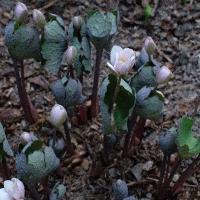 7. Haberlea, Jankaea, Ramonda, Corydalis, Dicentra, Meconopsis og Sanguinaria