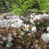 K08 - Cyclamen hederifolium_1