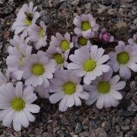 K09-Callianthemum anemonoides_1