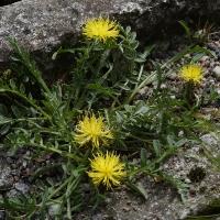 K05-Centaurea pestalozzae_1