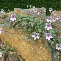 K05-Erodium cheilanthifolium_1