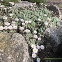 K05-Helichrysum milfordiae_1