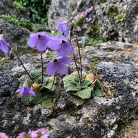 07. Haberlea, Jankaea, Ramonda, Corydalis, Dicentra, Meconopsis og Sanguinaria