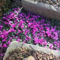08. Primula, Cyclamen. Helleborus og Pulsatilla