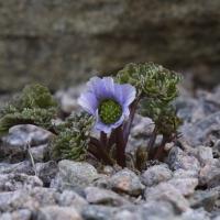 09. Ranunkel, Adonis, Anemone, Anemonella, Callianthemum , Clematis og Hepatica