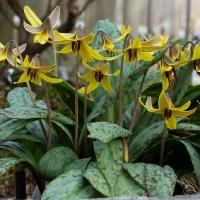 10. Crocus, Colchicum, Galanthus, Fritillaria, Tulipa og Erythronium
