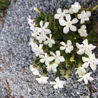 06. Gentiana, Dianthus, Campanula, Edraianthus og Physoplexis