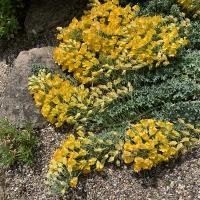 12. En løg/knold plante som ikke er dækket af de øvrige klasser