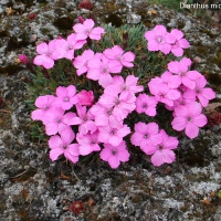 K09-Dianthus microlepis_1