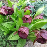 K11-Cypripedium tibeticum_1