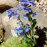 K06 - Penstemon nitidus_2